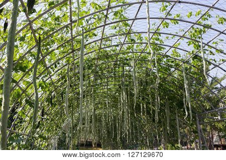 Green Marrow Vegetable Gourd In Farm Agriculture