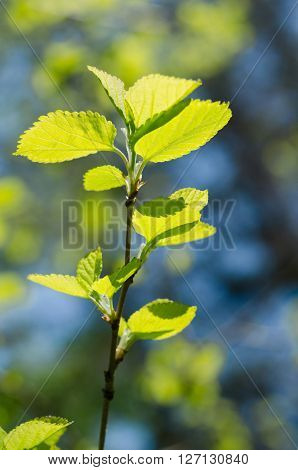 Spring Branch With Young Leaves On Natural Background