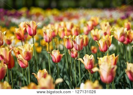 Field of spring tulips, flowers is a lot of bright, mature flowers, flower bed, bright flower scorching, buds of tulips, seasonal flowers, beautiful flowers close-up