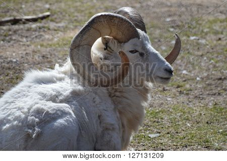 Bighorn sheep laying down on the grass