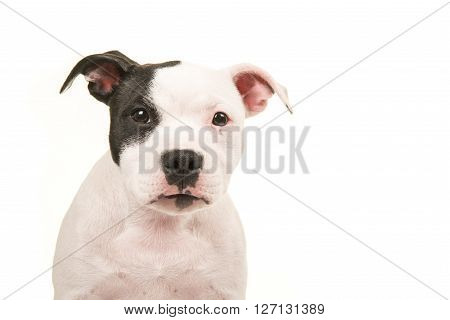 Close up of a pit bull terrier puppy dog portrait looking straight into the camera isolated on a white background