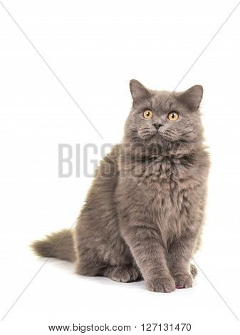 Sitting grey british longhair cat looking up isolated on a white background
