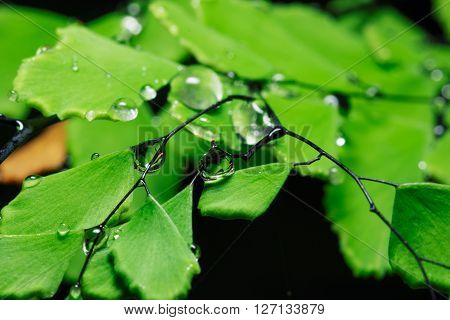 Raindrops on branches with fresh green leaves