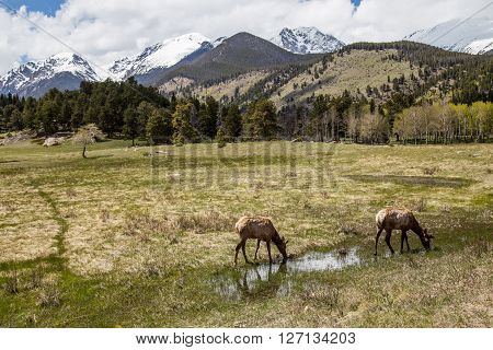 Elk grazing in the grass, Rocky Mountain National Park, Estes Park, Colorado