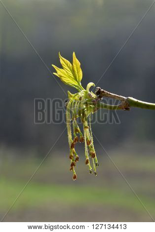 The first leaves and flowers (as racemes) of negundo against natural blur background.