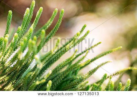 Araucaria Heterophylla closeup