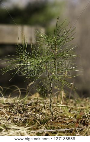 white pine sapling in nature setting with bench in background.