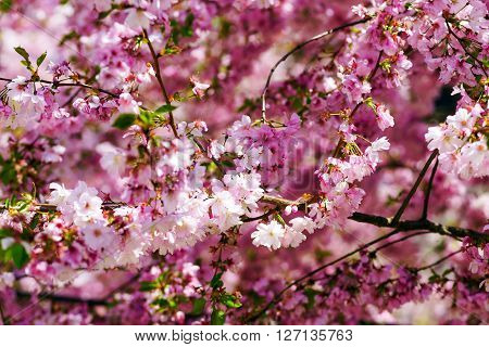Beautiful Pink Flowers Of Cherry On Blue Sky Background