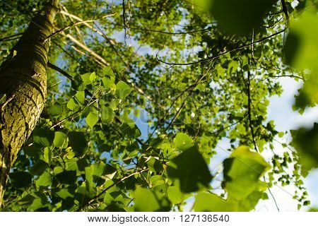Tree from below. Low angle view to the tree tops and bright sunbeam. Nature background.