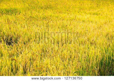 Yellow Gold Paddy Rice Plant. Spike Rice Field