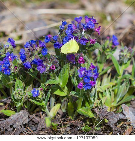 The softest lungwort ( Pulmonaria mollis ). Medicinal wild plants of Siberia