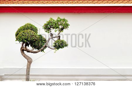 Bonsai tree and little bird on a background of the white wall and classical Thai architecture. Wat Pho Bangkok Thailand