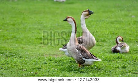 Long necked, domesticated Chinese geese in their habitat of ponds and meadows.  Earth tone Colourful big birds on a hobby farm in Ontario, Canada.