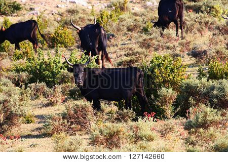 Male bulls and female cows on pasture