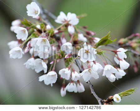 Cherry Blossoms, japanese cherry blossoms in blury gren background, sakura blossom