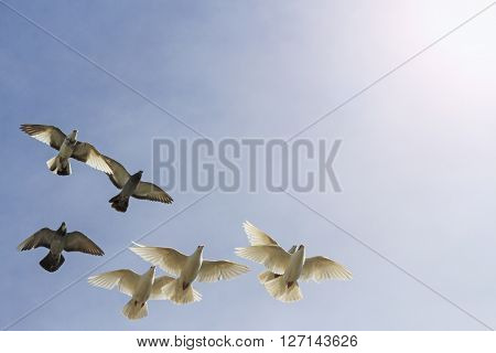 flock of pigeons on cloudy sky sports pigeons, pigeon post with sunny hotspot