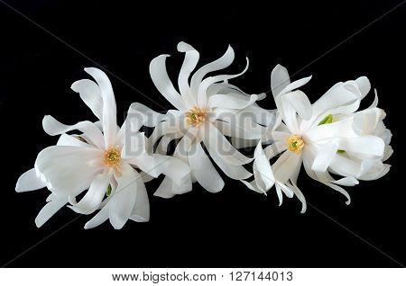 closeup of three magnolia flowers or magnolia alba isolated against black background