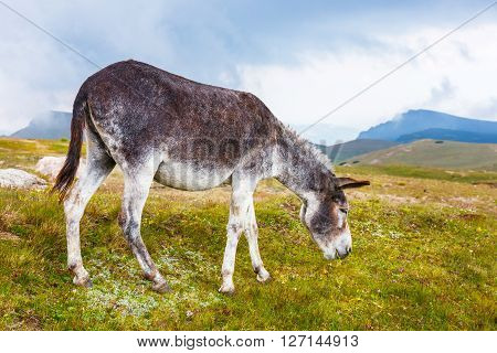 portrait of grey donkey in Bucego Mountains