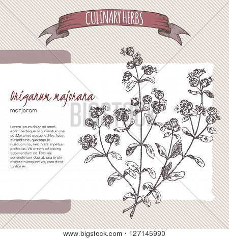 Origanum majorana aka Marjoram vector hand drawn sketch. Culinary herbs collection. Great for cooking, medical, gardening design.