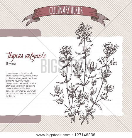 Thymus vulgaris aka Thyme vector hand drawn sketch. Culinary herbs collection. Great for cooking, medical, gardening design.