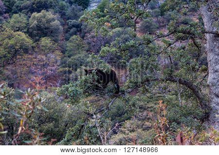 Brown bear in Sequoia National Park California ** Note: Visible grain at 100%, best at smaller sizes