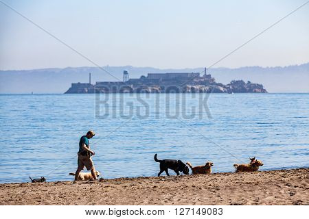 SAN FRANCISCO, CALIFORNIA, USA - SEPTEMBER 18, 2015: Man walking with dogs along the Crissy Field beach on September 18, 2015. Crissy Field is a popular park in the San Francisco Bay Area.