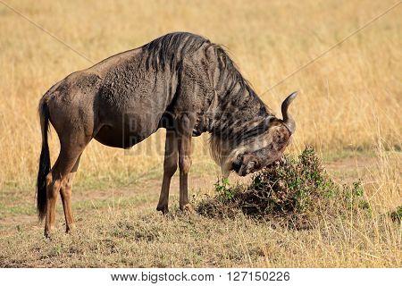 Blue wildebeest (Connochaetes taurinus), Masai Mara National Reserve, Kenya