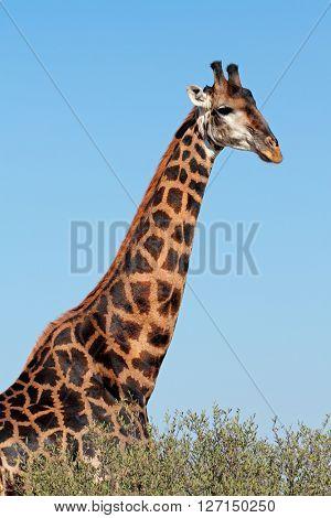 Portrait of a large giraffe bull (Giraffa camelopardalis), South Africa