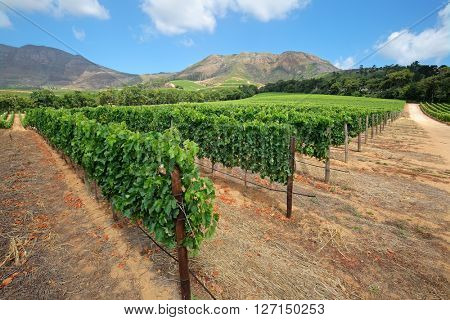 Landscape of a  vineyard against a backdrop of mountains, Cape Town, South Africa