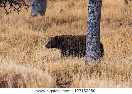 Bear In Sequoia National Park, California