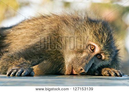 Baboon monkey lying sadly looks at photographer