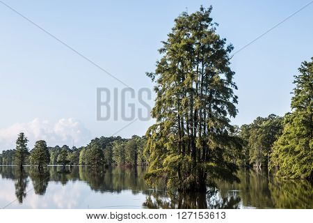 Bald Cypress trees at Stumpy Lake in Virginia Beach, Virginia.
