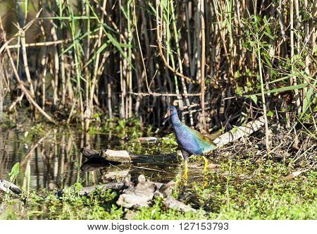 Purple Gallinule carefully making its way in Everglades swamp
