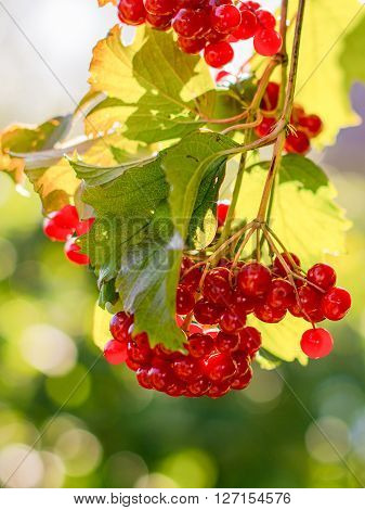 A branch of red viburnum berries against a background of a bush