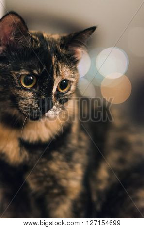 Tortoiseshell cat with a sad look on blurred background in the room