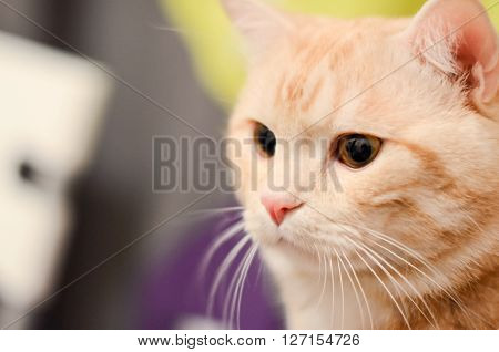 Red white tabby cat close up on a background of the room