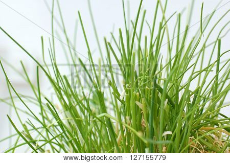 Chives On The White Background