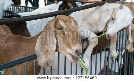 Goat in the paddock, agricultural, animal, autumn, baby