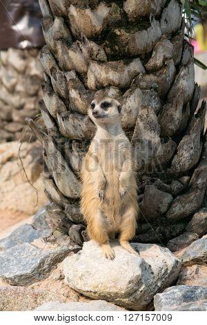 Alert meerkat (Suricata suricatta) standing on guard