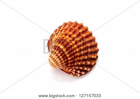 a brown shellfish isolated on white background