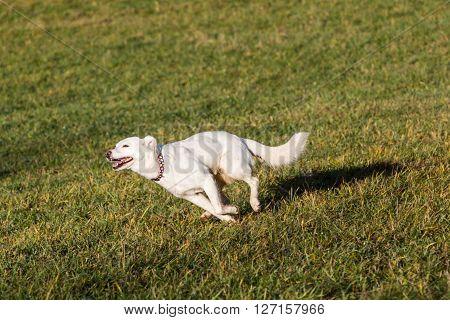 White Shelter Dog.