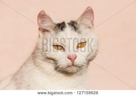 White cat closeup photo on pink background