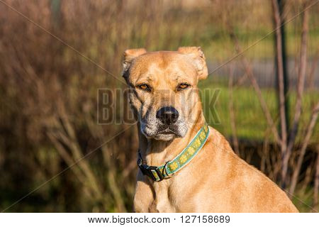 View of a mixed Pitbull and Labrador portrait