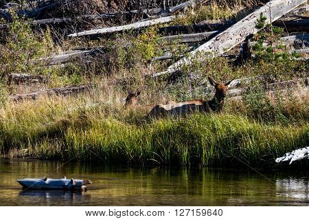 View of a Deer family in Yellowstone National Park