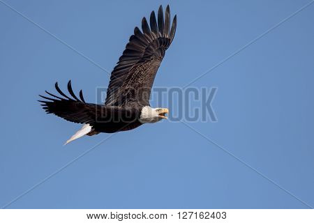 An American Bald Eagle flying around on a beautiful day.