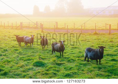 Black sheep standing on grass and looking camera. at farm in Dumfries Scotland.