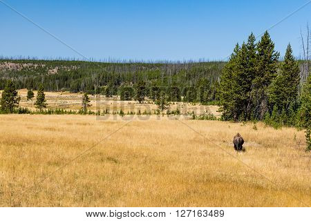 View of Bison in Yellowstone National Park