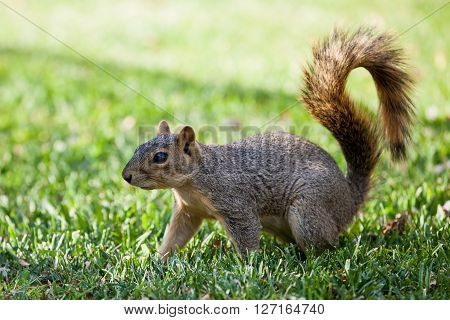 View of a Squirrel on a meadow in Denver