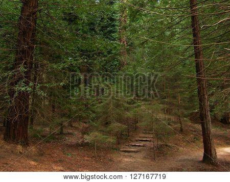 camino escalonado en bosque frondoso de secuoyas