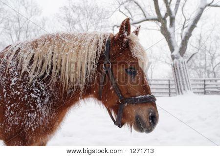 Horse Haflinger In Winter